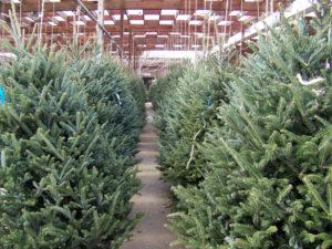 Campaña de recogida de árboles de Navidad 2021   Foto de archivo